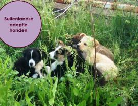 Buitenlandse adoptie honden